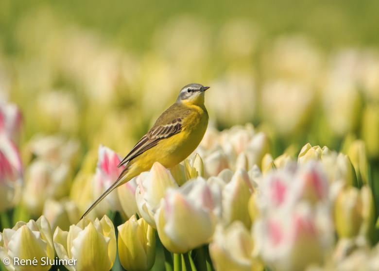 Gele Kwikstaart op de tulpen - Gele Kwikstaart op de tulpen in de Noordoostpolder.