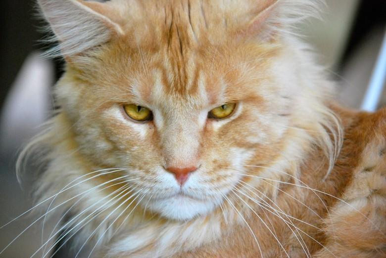 Lion look-alike - Geweldig mooie Maine Coon van mijn vriendin.