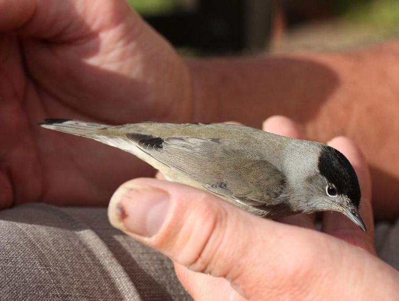 vogeltje  - dit vogeltje was vanmorgen tegen het keukenraam gevlogen. het heeft lang geduurd voordat het zo ver was hersteld dat het weer weg kon vlie