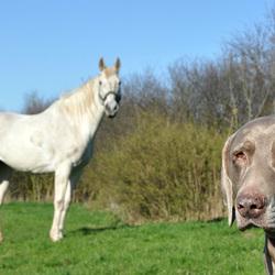 Weimaraner met paard
