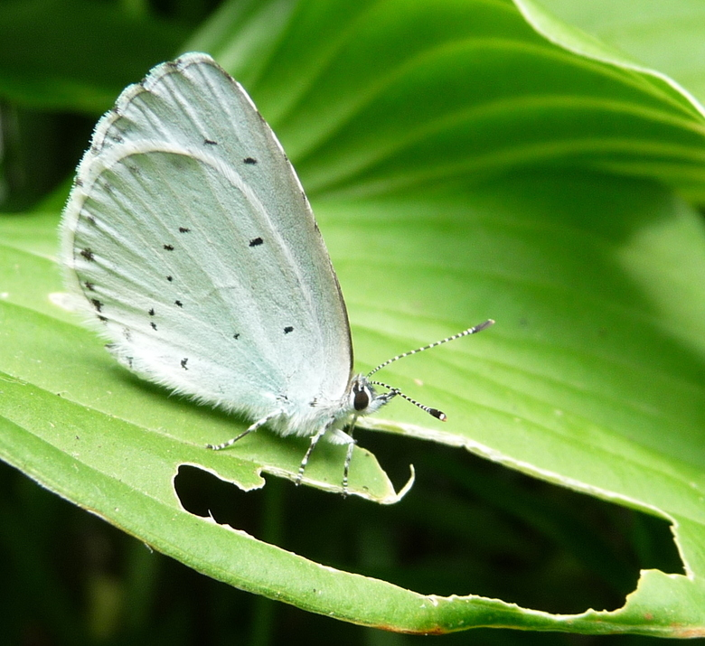 P1170839 vlinder - een witje verorbert zijn blaadje.
