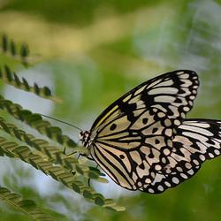 Gewone Monarch Vlinder