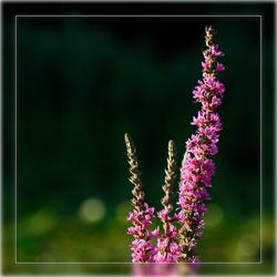 vandaag is paars , de kleur van ........