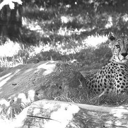 Een zwart-wit foto was ook apart bij deze Cheeta!