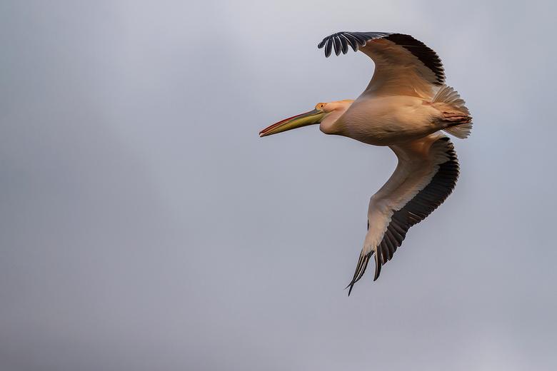 """Pelikaan - Deze pelikaan had even zin om een eindje te gaan vliegen <img  src=""""/images/smileys/smile.png""""/>"""