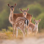 Fawn Family