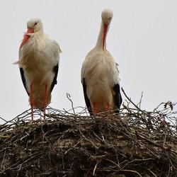 Ooievaars op nest.