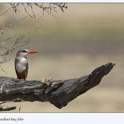 woodland king fisher