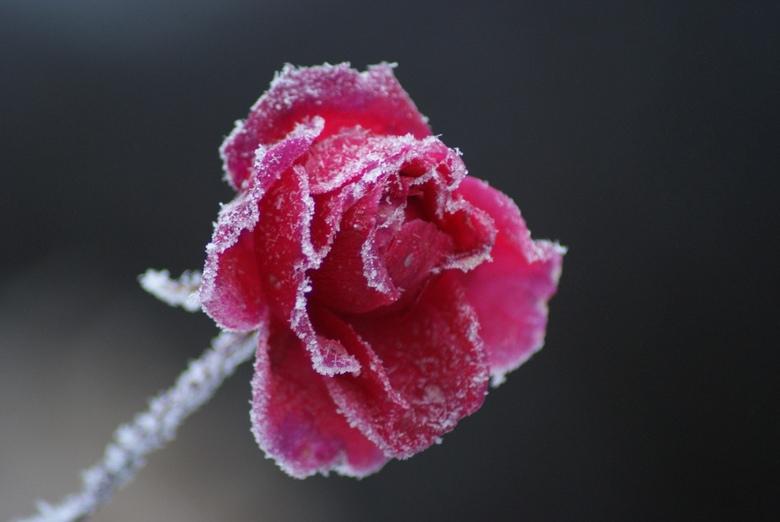 ijskoud - een roos met rijp .<br /> groeten Bennie