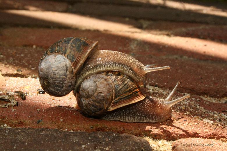 slakkenpaar - Deze foto heb ik genomen in mijn achtertuin. Ik heb er een hele serie van gemaakt. Deze beestjes zijn hier uren mee bezig geweest! Dus i