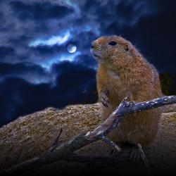 Marmot bij maanlicht