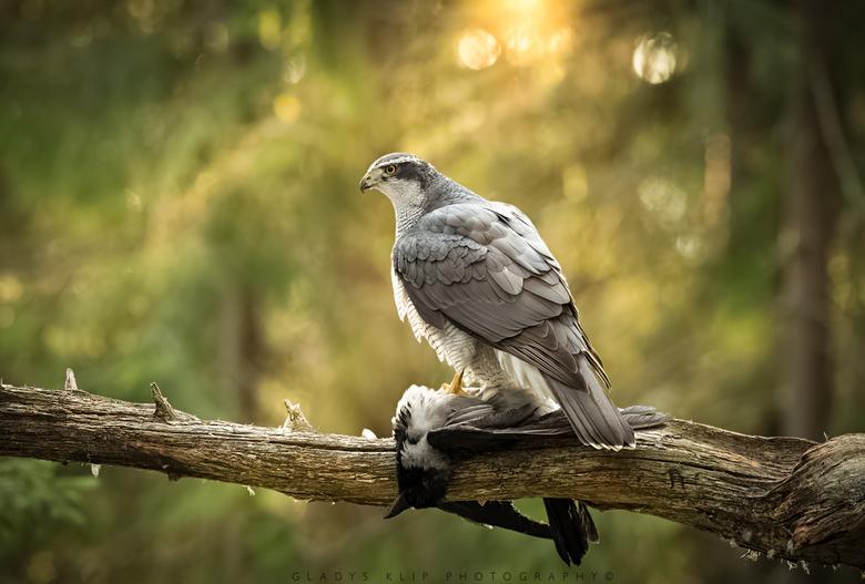 Havik vrouw met prooi - Daar word ik nou blij van als de vogel op het juiste moment van de dag op de goede plek beland!<br /> <br /> <br /> <br />