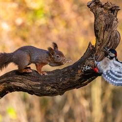 De eekhoorn en de specht