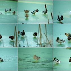 Watervogels op bevroren kroos. Foto 2