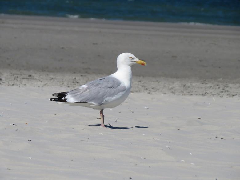 Meeuw op het strand  -