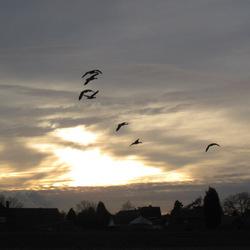ganzen bij ondergaande zon