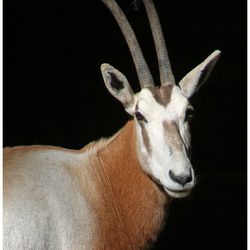 Statieportret Algazelle ...