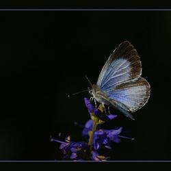 boomblauwtje 3