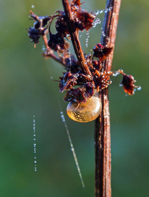gouden slakje - Deze ienie mini werd door een klein zonnestraaltje bijna doorzichtig