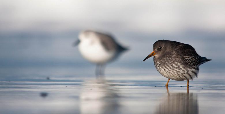 Paarse Strandloper - Leuk diepte plaatje, voorin een paarse strandloper en achterin een drieteenstrandloper.