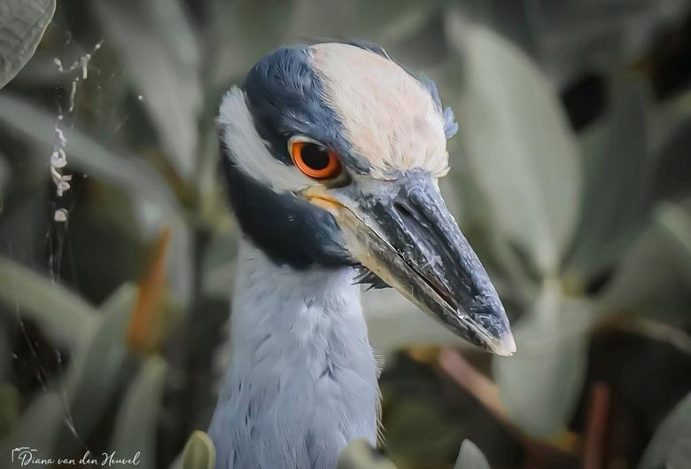 Geelkruinkwak   - Een mooie Geelkruinkwak  gezien op Bonaire
