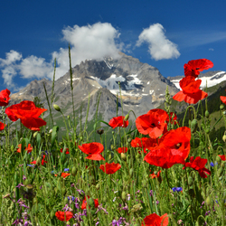Klaprozen in de Alpen