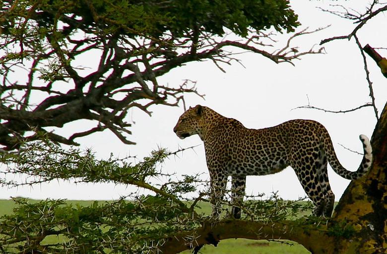 Luipaard op de uitkijk -