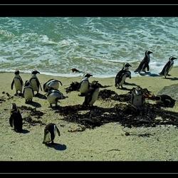 Z.afrika pinguins