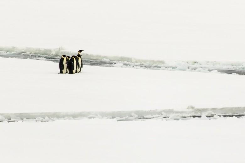 Emperor pinguins op het pakijs