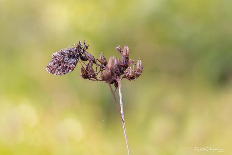 Paarse parelmoervlinder -