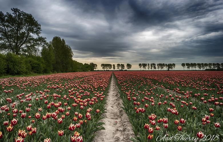 Tulpen op Flakkee