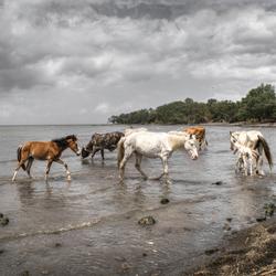 Paarden in Lago Cocibolca