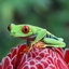 Costa Rica - kikker