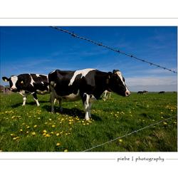 De eerste koeien
