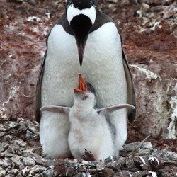 Ezelspinguïn jong heeft honger