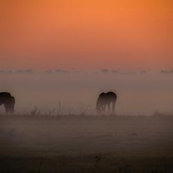 Paarden in de dauw