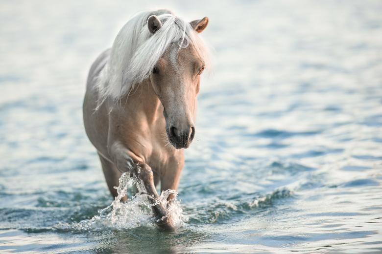 Pony - Pony zoekt afkoeling in het water.