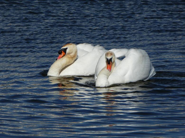 Waakzaam zijn ... - ...Wat waren ze waakzaam.<br /> Ze zwommen met jongen in de buurt waar een ander koppel het vrouwtje nog op het nest zit.<br />