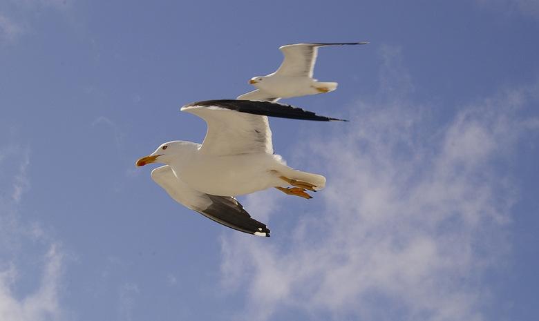 Vrijheid! Vliegen! - Met de boot naar de Waddeneilanden is al vakantie. Vrije meeuwen vliegen met je mee, proberen hier en daar een kostje bijeen te s