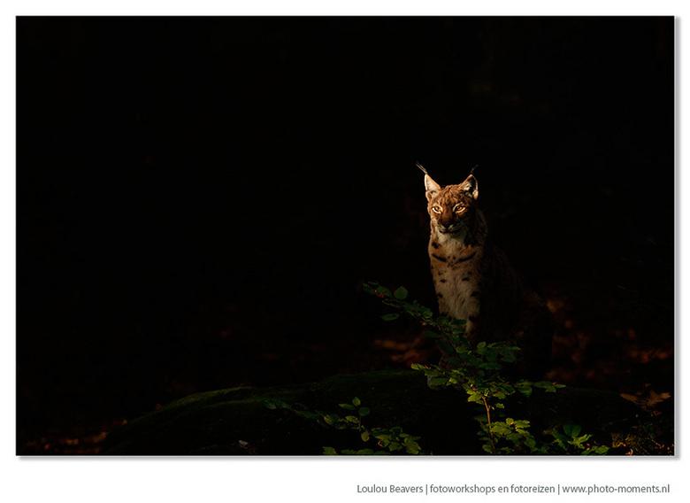 Lynx in the morning light - Tijdens de laatste reis naar een Beieren in de herfst, troffen we 's ochtends een lynx aan die blijkbaar ook gek is o