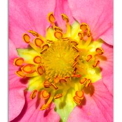 Coler flower