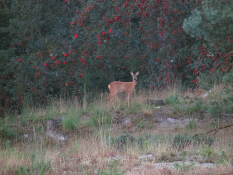 This morning - Deze ochtend stond ik oog in oog met een hertje op de Brunssummerheidr