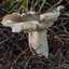 Russula in verval