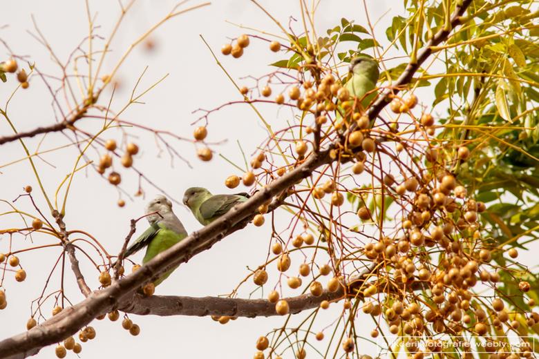 lovebirds - Lovebirds oftewel dwergpapegaaien in nationaal park Anja op Madagaskar.
