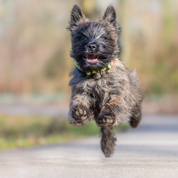 Nicky (Cairn Terrier)
