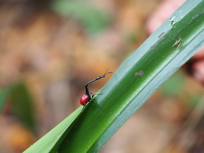 Giraffe Long Neck beetle -