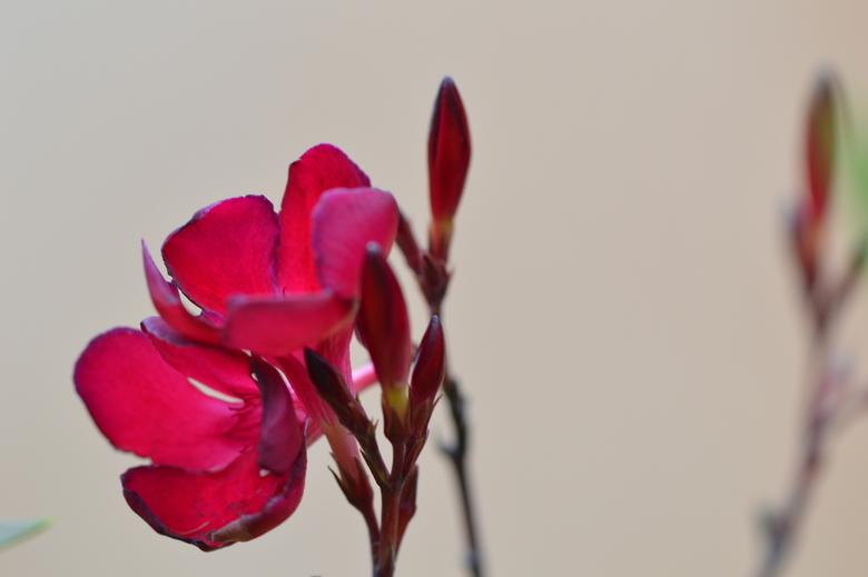 oleander -