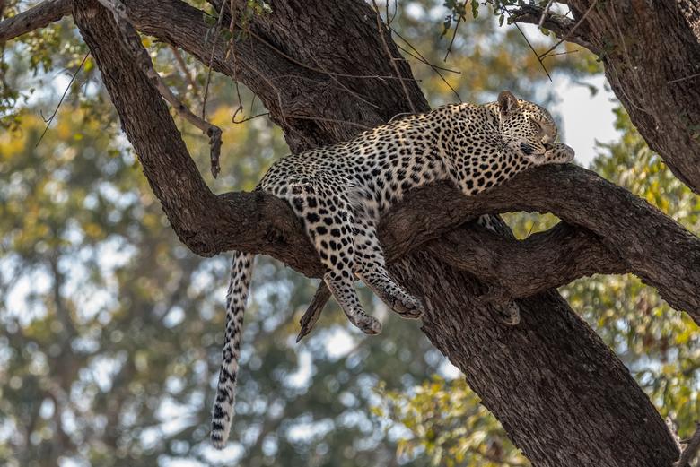 Slapend luipaard in Kruger National Park - 16 maanden oud luipaard die heerlijk lag te slapen in een boom.