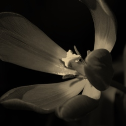 Wilted tulip