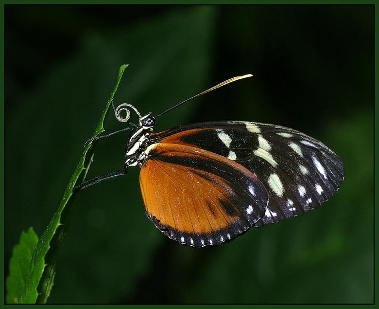 Roltong - Bij deze Passiebloemvlinder is heel mooi de roltong te zien!<br /> <br /> Ik wil iedereen weer bedanken voor de leuke commentaren bij mn v
